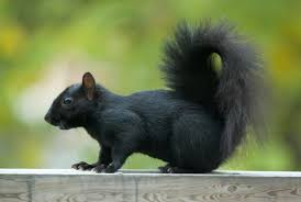 black-squirrel-photo
